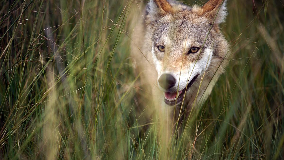Fotograma de El último lobo